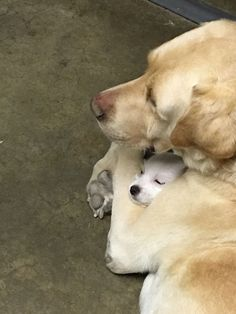 older Lab hugging new puppy