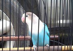 lovebird blue ice