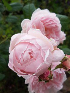 Herlige Austinroser roser som remonterer fortsatt i midten av oktober. Rose, Garden, Flowers, Plants, Pink, Garten, Lawn And Garden, Gardens, Plant