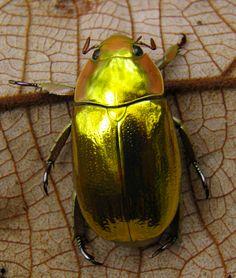Escarabajos de Costa Rica.