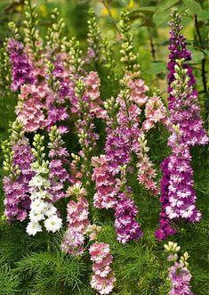 Beautiful Delphiniums in mass look so charming in a garden. Larkspur Plant, Larkspur Flower, Love Flowers, Wild Flowers, Beautiful Flowers, Flower Garden Design, Love Garden, Outdoor Plants, Outdoor Gardens