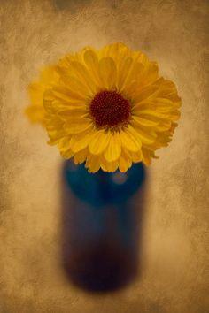 Single Yellow Flower in Blue Vase.  #yellowflower #naturephotograph #theartisangroup #naturesimagesbydesign #autumn #fall