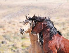 Friends  Mustang Stallions  85 x 11 by NevadaWilds on Etsy,  #NevadaWilds #wildhorses