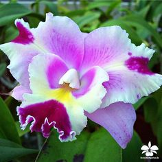 Cattleya Sherry Baby 'Dahlenburg'