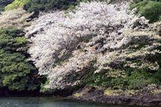 壱岐桜 iki isiland cherry blossom
