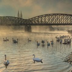 WEBSTA @ prague.eu - You've heard of Swan Lake. Well this is Swan River. #vltava #prague #praha #fog #swans #vysehrad