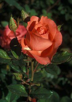 Floribunda Rose Marmalade Skies - vibrant orange blooms