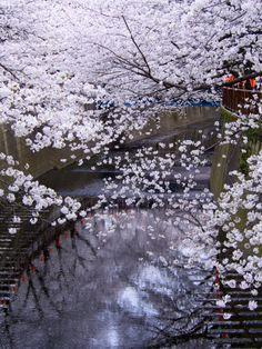 Sakura, Meguro, Tokyo, Japan