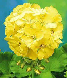 Yellow Geranium.