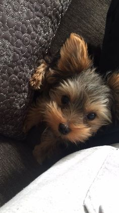 Teacup Yorkie Puppies I Love Dogs Puppy Cute