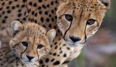 We've gathered our favorite ideas for Posts Animal Law Center Animals And Laws Promotes The, Explore our list of popular images of Posts Animal Law Center Animals And Laws Promotes The. Cheetah Face, Cheetah Cubs, Cheetah Family, Cheetah Pictures, Animal Pictures, Beautiful Cats, Animals Beautiful, Cute Baby Animals, Animals And Pets