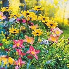 Black-eyed Susan and daylily - Maybe for the back of the berm.