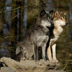 These wolves are clearly averting their attention to either prey or to the call of their or a nearby pack. Wolf Images, Wolf Photos, Wolf Pictures, Animal Pictures, Beautiful Creatures, Animals Beautiful, Tier Wolf, Wolf Goddess, Wolf Warriors