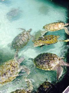 Turtle Farm in Georgetown, Grand Cayman - Honeymoon 2014