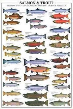 Salmon and Trout is a 1000 piece jigsaw puzzle by Eurographics Puzzles featuring an informational chart of fresh water fish. Fly Fishing Tips, Fishing Knots, Gone Fishing, Fishing Lures, Catfish Fishing, Fishing Tricks, Fishing Stuff, Fishing Tackle, Fish Chart