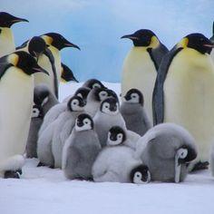 Photo by david_attenborough #penguin #animallovers #animals