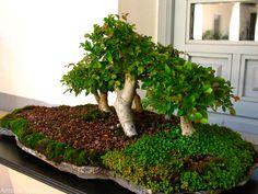 ARTE Y JARDINERÍA DISEÑO DE JARDINES: Arte bonsai