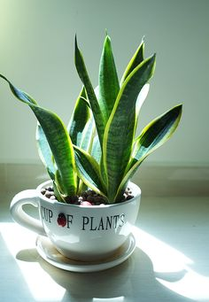 Plants Improving Air Quality putting a little snake plant {from nasa's list of top 10 healthy air plants} in a coffee mug.putting a little snake plant {from nasa's list of top 10 healthy air plants} in a coffee mug.