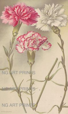 Antique Flower Print Antique Botanical Print by NGArtPrints