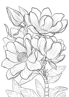 Campbells Magnolia Coloring page More