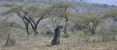 Relaxing under an africn tree Cheetah, South Africa, Giraffe, Relax, Animals, Felt Giraffe, Animales, Animaux, Giraffes