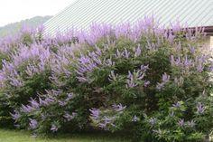 Botanical:  Vitus agnus-castus; Common:  Vitex, Chaste Tree, Chasteberry, Abraham's Balm or Monk's Pepper; USDA Zones 6-10; http://www.floridata.com/ref/v/vitex_a.cfm