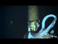 Architeuthiiiiiiiis!!! (very rare footage of a live giant squid)
