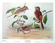 Rex Brasher Print Large Vintage 1962 Bird - Song Sparrow with Burning Bush sold by mysunshinevintage