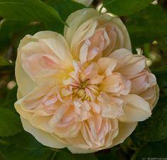 ~'Jaune Desprez' Rose Photo