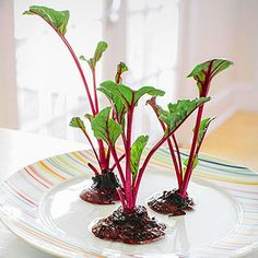 Slice the top ½ inch from a fresh beet with its greens still attached. Trim the greens, leaving about ½ inch of stem. Rinse the beet top, then place it in a shallow dish of water. Little shoots should appear within several days.