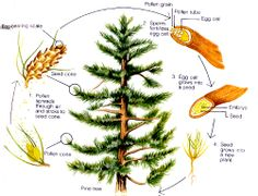 Picture to illustrate life cycle of conifer.jpg Compare and contrast the major stages in the life cycles of Florida plants and animals, such as those that undergo incomplete and complete metamorphosis, and flowering and nonflowering seed-bearing plants. Conifer Plants, Conifer Trees, Evergreen Trees, Science Lessons, Teaching Science, Tree Life Cycle, Cycle Pictures, Process Engineering, Pete The Cats
