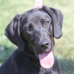 Luna is an adoptable Beagle Dog in Springfield, IL. Hi! My name is Luna and as you can tell from my photo, I'm a female black lab mix. I came to the APL from Montgomery County Animal control and have ...
