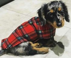 Oooooooh! 9 week old CHARLIE in his 'My First Coat' in tartan #dachshundpuppy #dachshunds https://www.simplyspiffingdachshunds.co.uk/product-category/harness-leads-sets/