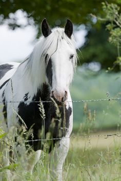 Horse in a gorgeous shade of black and white just gorgeous but stay off that barbed wire