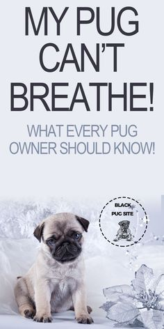 Pug breathing problems are real and every pet owner should know how to control them and...