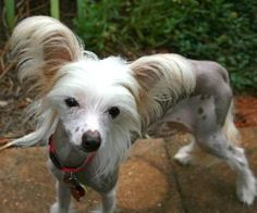 @Samantha Palmer awwwwwwww Mona is an adoptable Chinese Crested Dog Dog in Marietta, GA.  Mona was relinquished by her owner. It can be a heart breaking decision for an owner to give up their dog and Mona was well loved. Puppie...