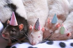 happy birthday rats - your daily dose of funny cats - cute kittens - pet memes - pets in clothes - kitty breeds - sweet animal pictures - perfect photos for cat moms Animals And Pets, Funny Animals, Cute Animals, Small Animals, Funny Cats, Rata Dumbo, Fancy Rat, Happy Birthday Meme, Birthday Hats