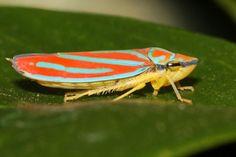 Leafhopper, Content