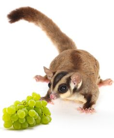 Pet Sugar Glider Food & Diet