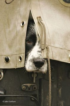 ♔ Sporting hound peeping through canvas.                                                                                                                                                                                 More