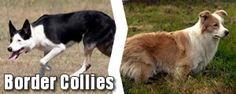 Landrace vs. Purebred Scotch Collies - Old Time Farm Shepherd.org