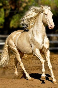 Akhal Teke the most shinny horses! There are only 7000 Akhal Teke horses in the world! Most Beautiful Horses, All The Pretty Horses, Animals Beautiful, Simply Beautiful, Akhal Teke Horses, Andalusian Horse, Friesian, Golden Horse, Majestic Horse