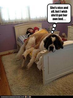 Big Saint Bernard   ...........click here to find out more  googydog.com. OMG haha