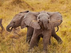 Baby elephants play with a stick until they can handle a football....RTR