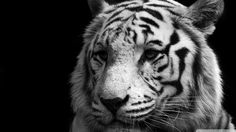 Tiger Black And White HD desktop wallpaper : Widescreen : High ...