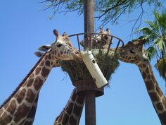 Giraffe Enrichment