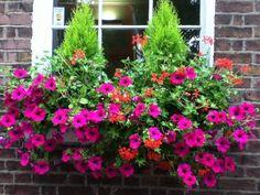 Geranium and petunia window box // Grays Inn Rd, London WC1