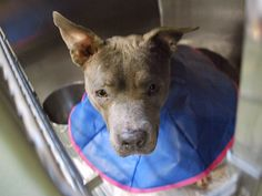 SILENT KILL 5/2016 Brooklyn Center CANCUN – A1073282 **DOH HOLD-V 05/12/16** FEMALE, GRAY / WHITE, PIT BULL MIX, 6 yrs STRAY – ONHOLDOFFS, HOLD FOR DOH-V Reason OWNER HOSP Intake condition INJ MINOR Intake Date 05/11/2016, From NY 11234, DueOut Date 05/22/2016, I came in with Group/Litter #K16-056924