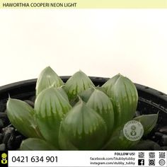 Quality succulents, cacti and houseplants for sale - Adelaide, SA, Australia Succulents For Sale, Neon Lighting, Houseplants, Cactus, Indoor House Plants, House Plants, Interior Plants