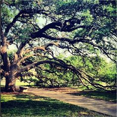 The Century Tree. Every Aggie girl's dream. Ask me to marry you here and i promise you my heart forever